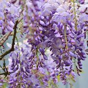 Fiore glicine