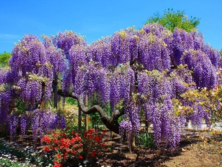 glicine come pianta ornamentale