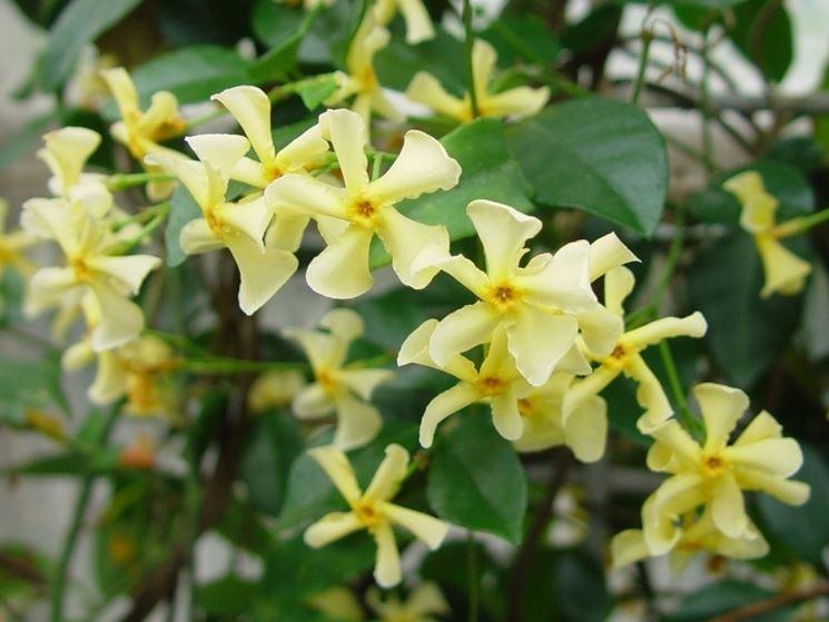 Gelsomino dai fiori gialli