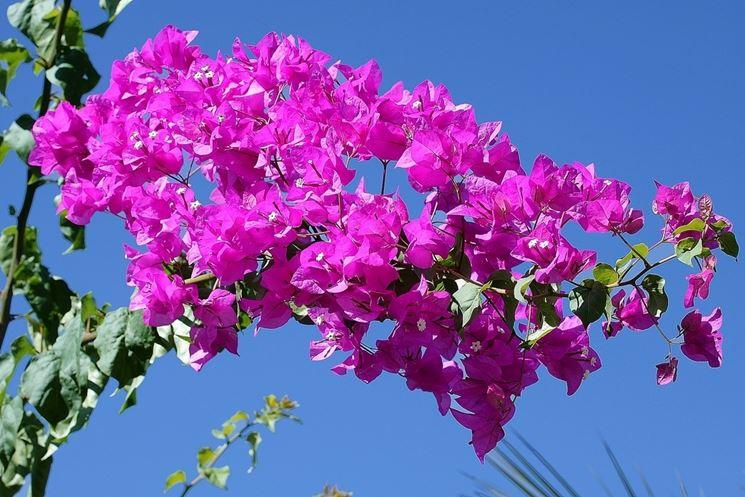Bouganville in fioritura