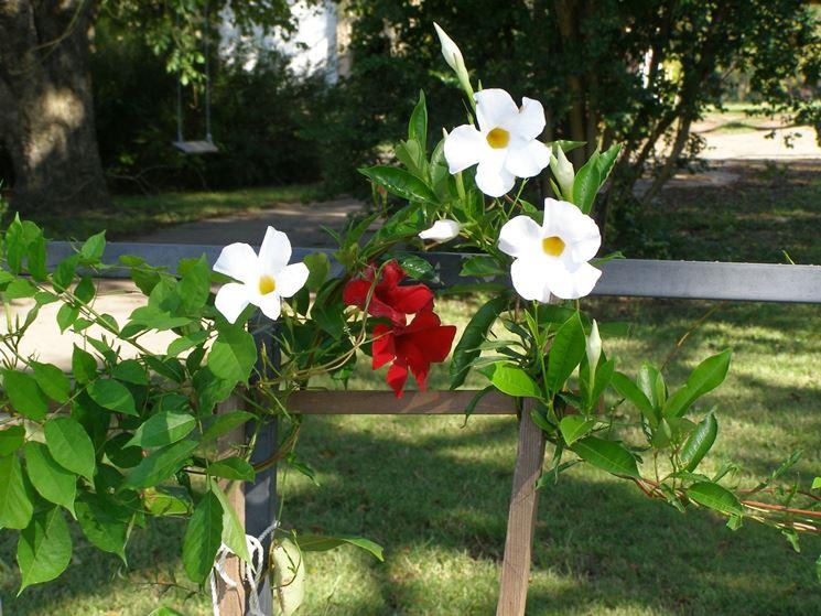 Coltivazione mandevilla giardino