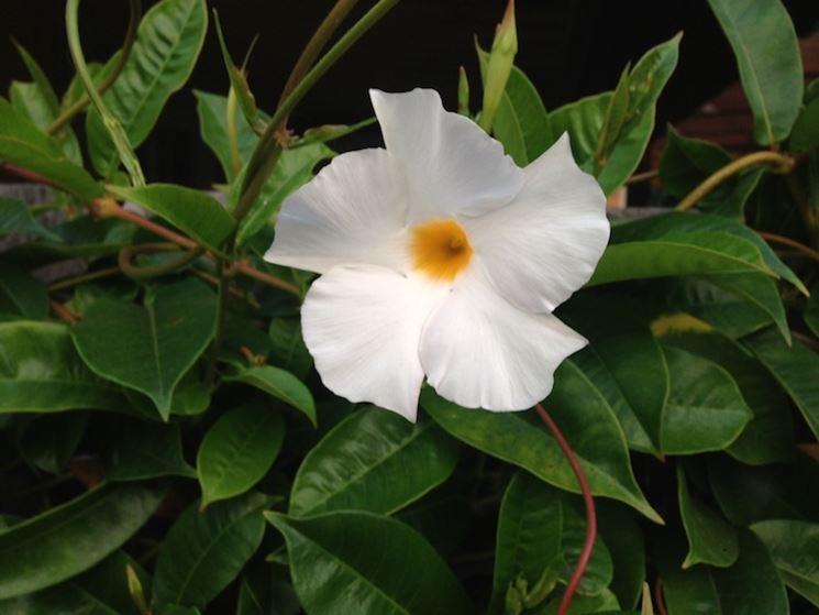 Fiore mandevilla rampicante