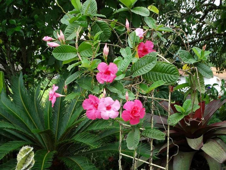 Mandevilla fiori