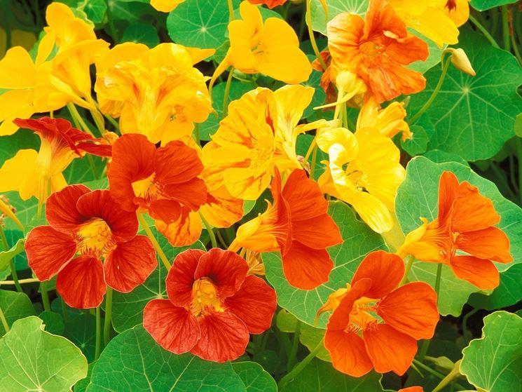 fiori gialli dei luoghi umidi nasturzi