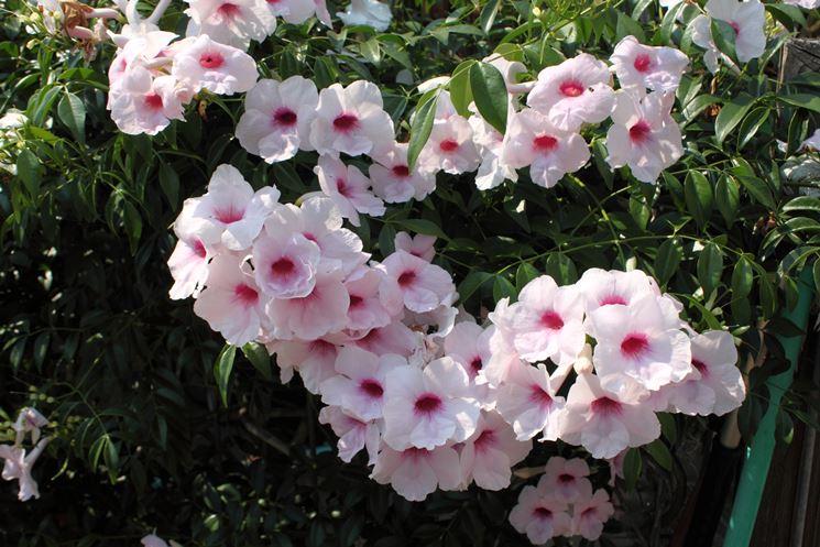 fiori pandorea