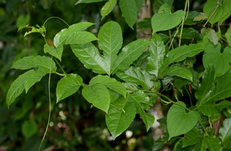 Particolare foglie passiflora edulis