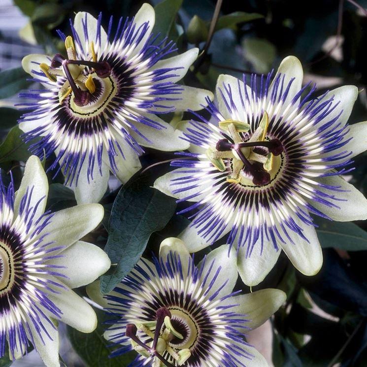 Fiore pianta passiflora