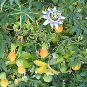 Rampicanti ordinati in successione for Sundaville coltivazione