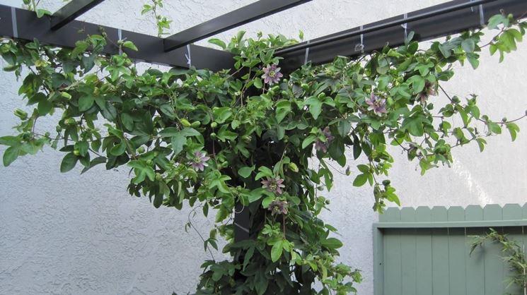 La passiflora rampicante