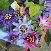 Fiori di passiflora