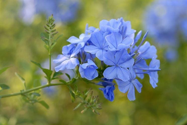 Fiore gelsomino azzurro