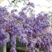 glicine fiorito