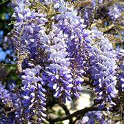 fioritura glicine