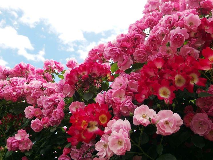 Rosa fioritura