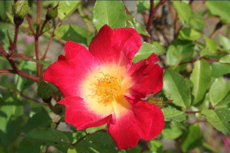 Varietà rose