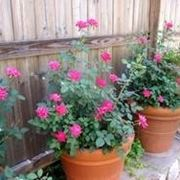 rose rampicanti rifiorenti