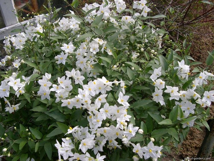 solanum jasminoides rampicanti pianta di solanum