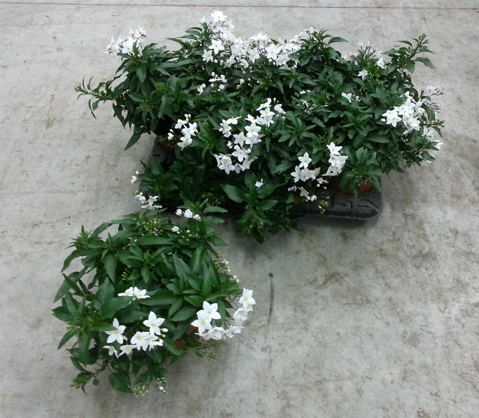 Clematis Resistenti Al Freddo solanum jasminoides - rampicanti - pianta di solanum jasminoides