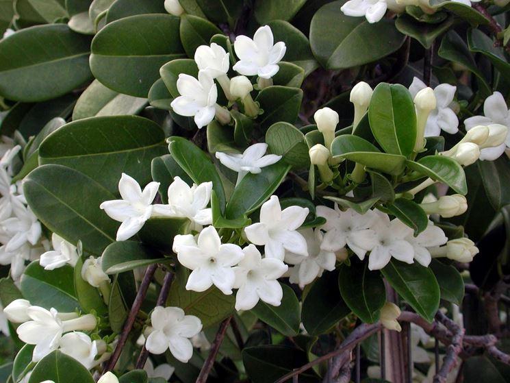 fiori stephanotis