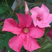 fiore dipladenia