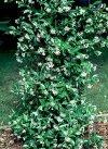 "Trachelospermum jasminoides"""
