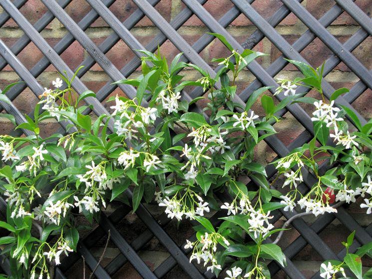Gelsomino sempreverde trachelospermum jasminoides - Rampicanti a crescita rapida ...
