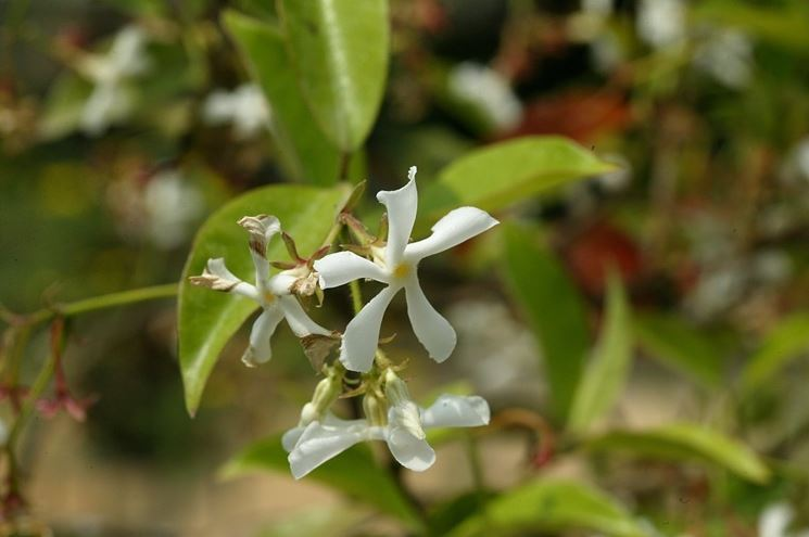 trachelospermum majus