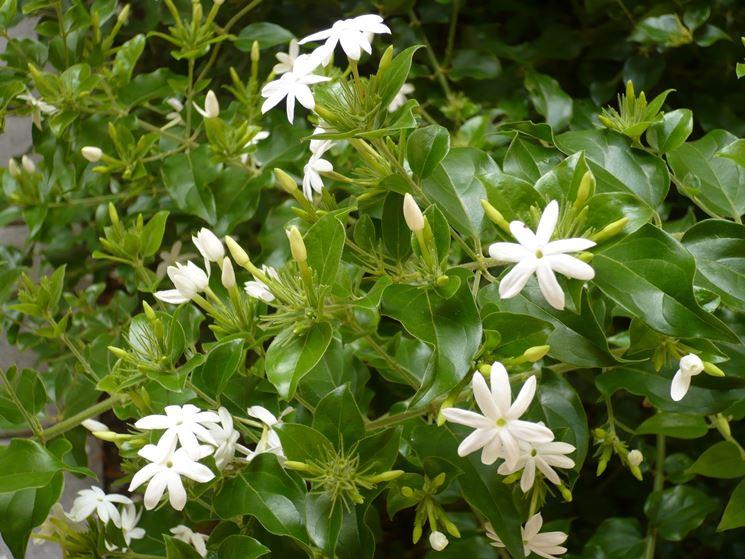 gelsomino sempreverde trachelospermum jasminoides