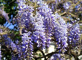 Glicine  -  Wisteria floribunda