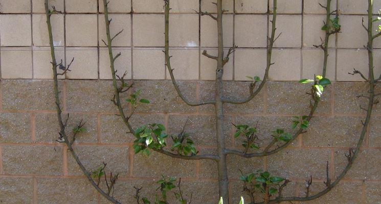 impostare una pianta a spalliera
