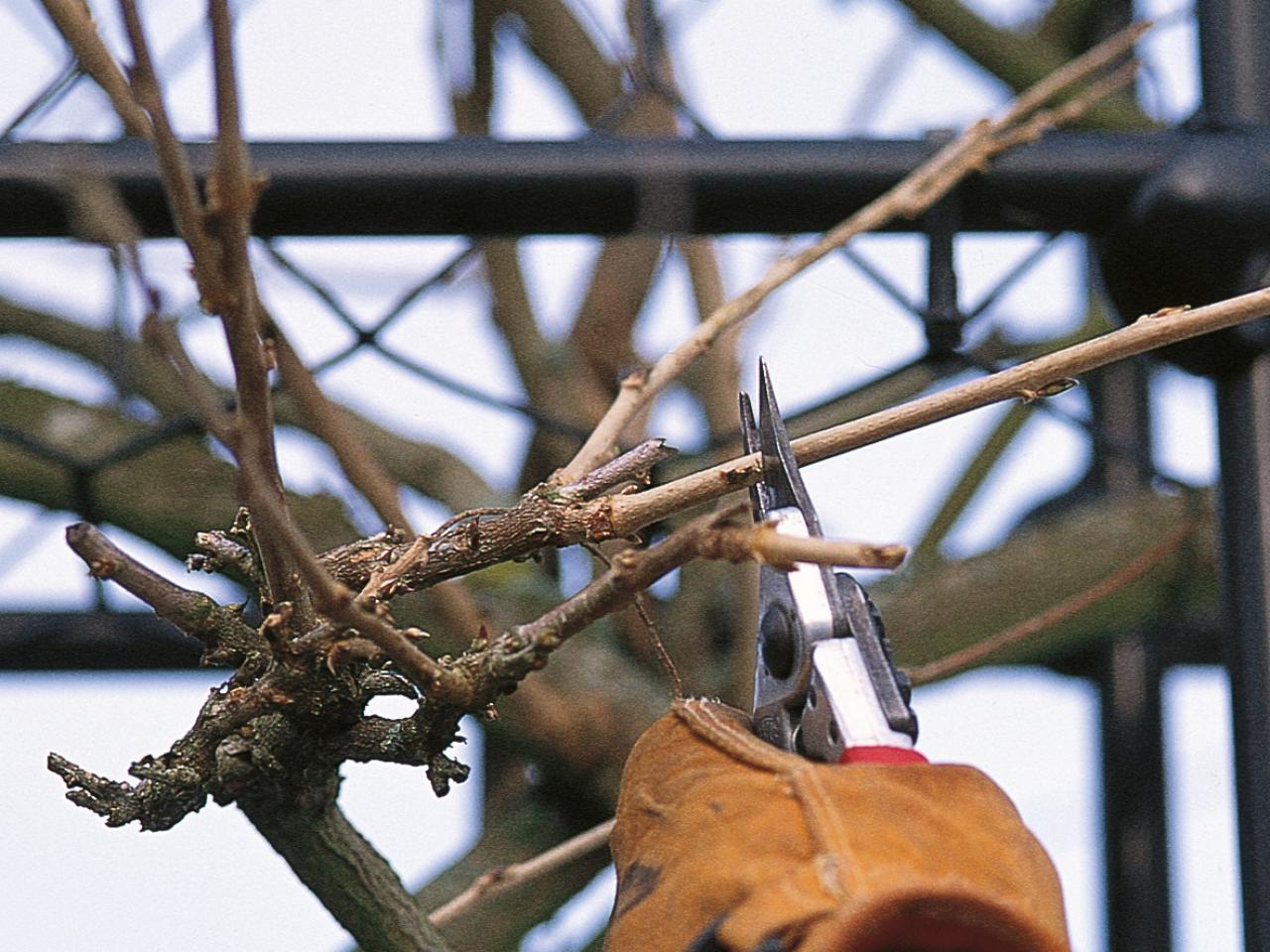 Quando Potare Il Glicine glicine - wisteria floribunda - wisteria floribunda