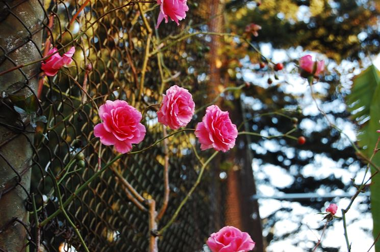 Come potare le rose rose potatura rose for Potare le rose