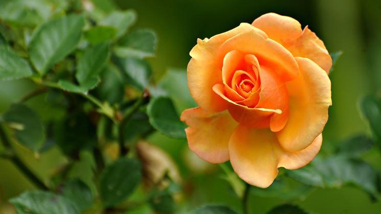 rose aranciata