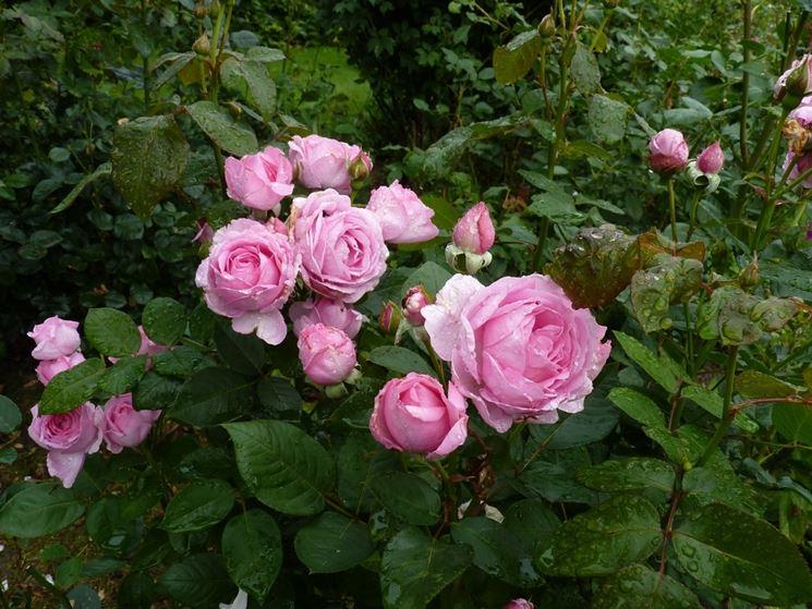 quando potare le rose rose quando meglio potare le rose. Black Bedroom Furniture Sets. Home Design Ideas