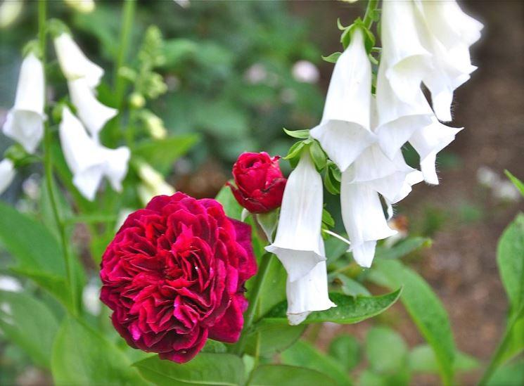 Quando si potano le rose rose quando potare le rose for Potare le rose