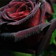 Fiore di black baccara