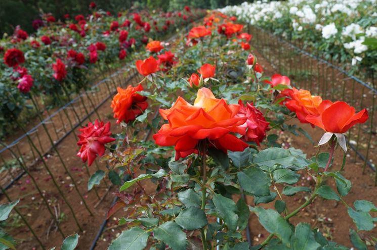 Varietà di rose di più colori
