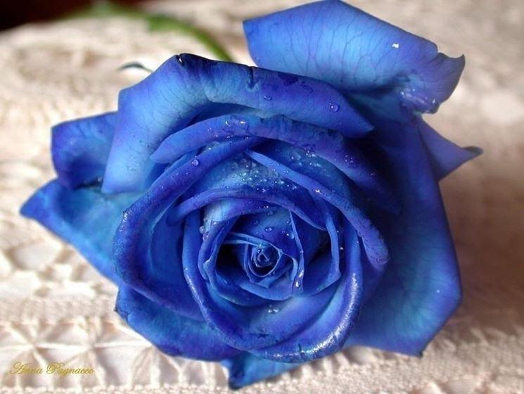 Rosa blu naturale