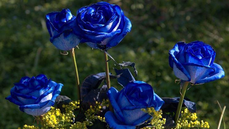 Rosa blu coltivazione