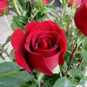 Unas pocas rosas