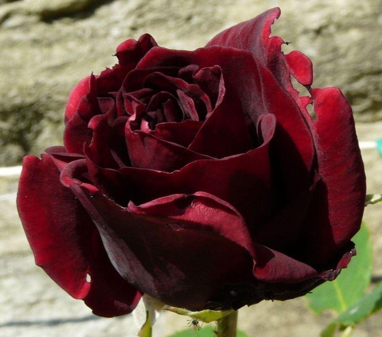 Louis XIV rosa nera
