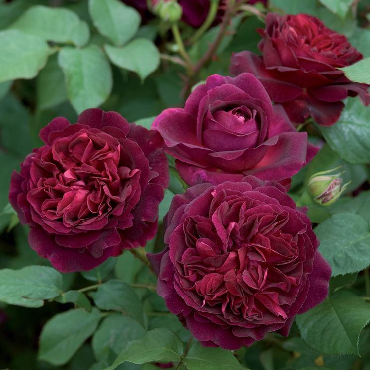 Munstead Wood rosa nera