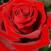 rosa rosa significato
