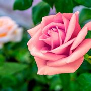 rose rosa significato
