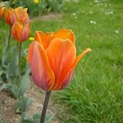 tulipani periodo