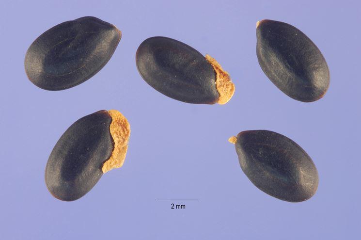 semi mimosa