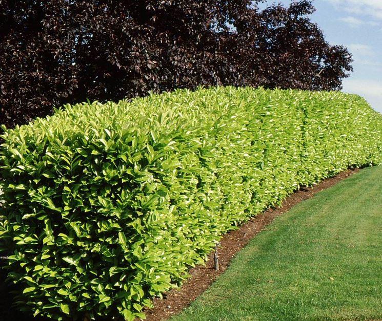 Alberi da siepe siepi alberi da siepe per giardino - Alberi da giardino piccoli ...