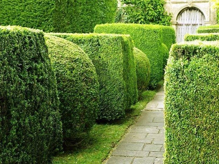 Alberi da siepe siepi alberi da siepe per giardino - Alberi colorati da giardino ...