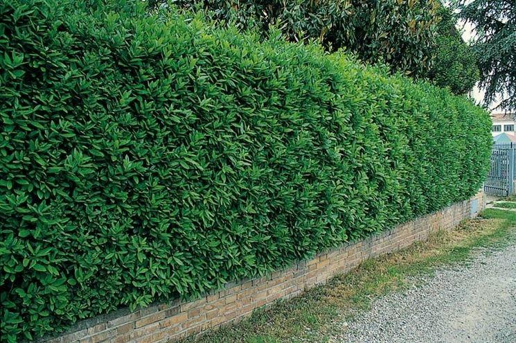 Alberi da siepe siepi alberi da siepe per giardino for Alloro siepe