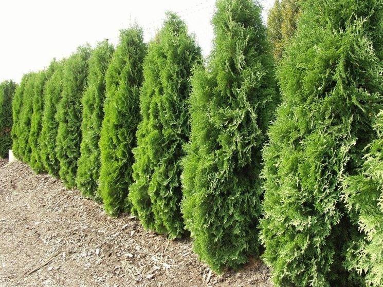 Alberi per siepi siepi siepi con alberi - Alberi da giardino di piccole dimensioni ...